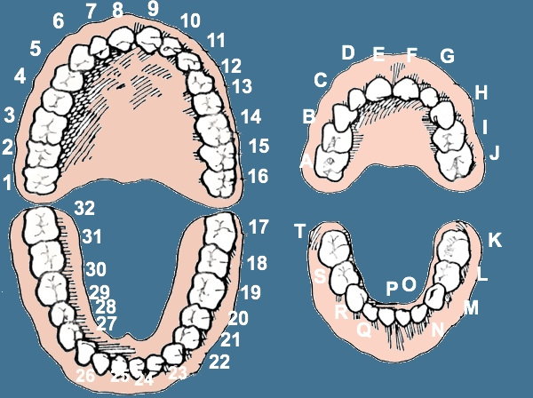 Dental Numbers