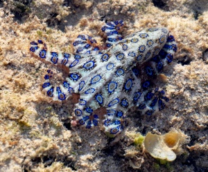 Blue-ringed-octopus.jpeg