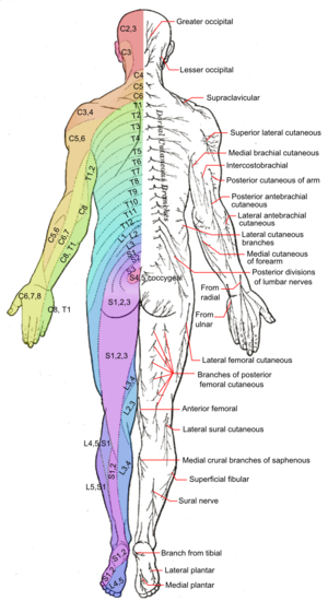 Spinal cord levels  WikEM